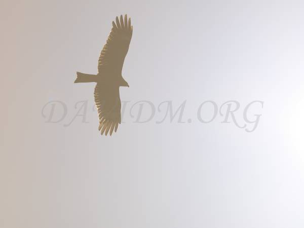 太陽を背にして飛ぶトビ