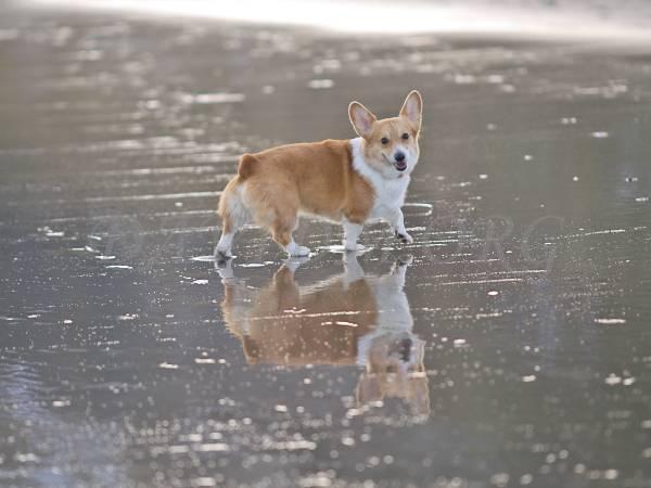 散歩中のコーギーのケリーの写真