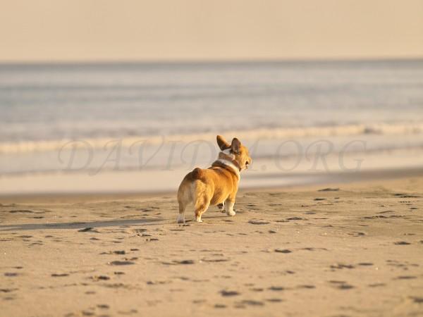 砂浜に来たコーギーのケリーの写真