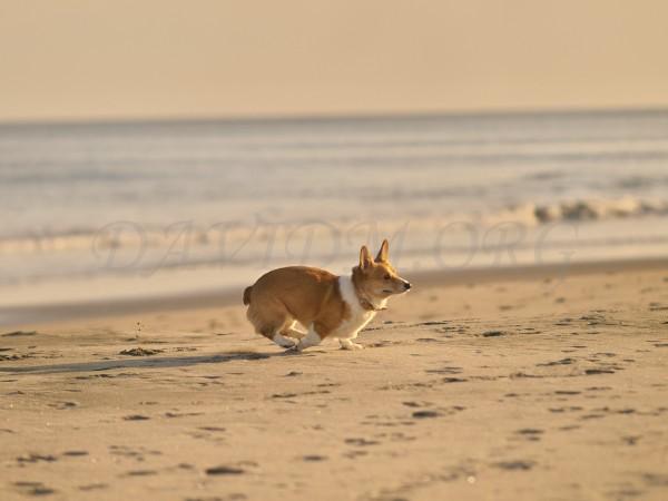 砂浜で走るコーギーの写真