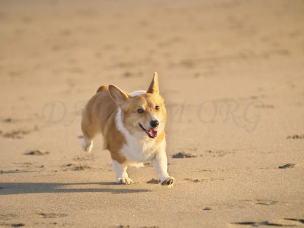 楽しそうに走るコーギーの写真