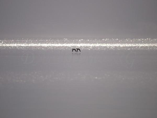 洞爺湖の湖面を飛ぶカモの写真