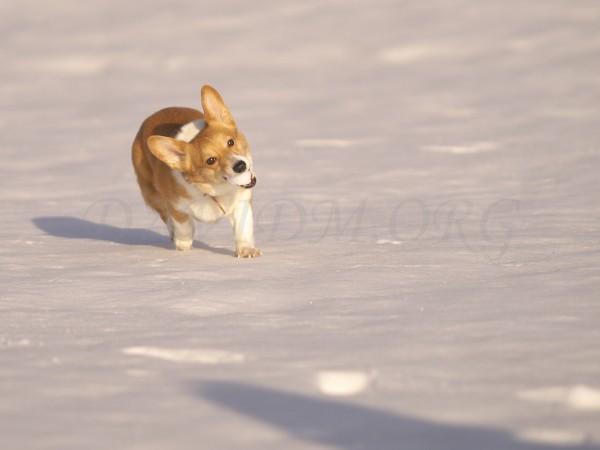 雪を咥えたコーギーの写真