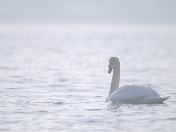 朝の洞爺湖と白鳥の写真