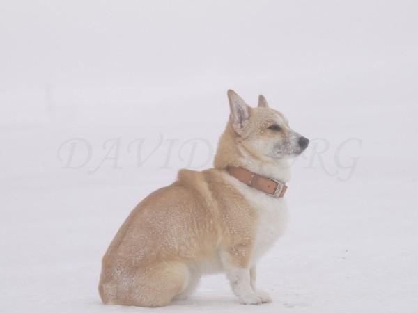 吹雪に耐えるコーギーの写真