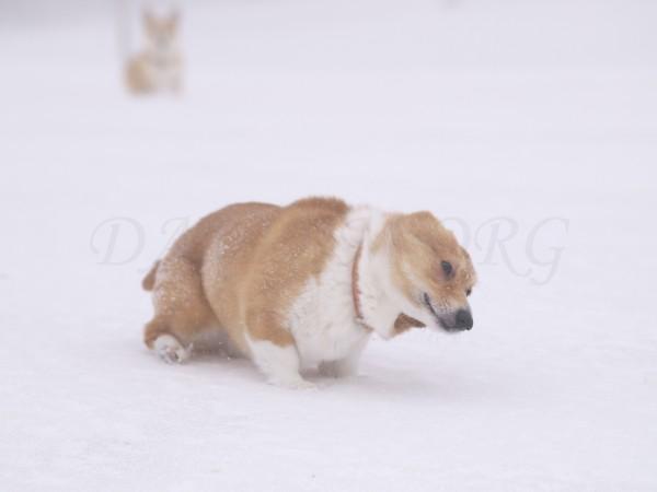 雪を落とすコーギーの写真