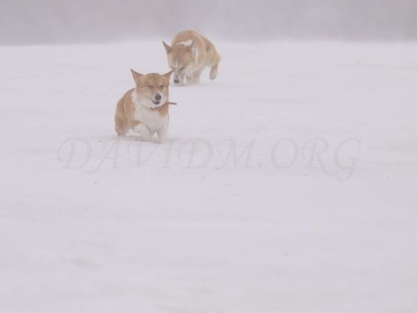 吹雪の中のコーギーの写真