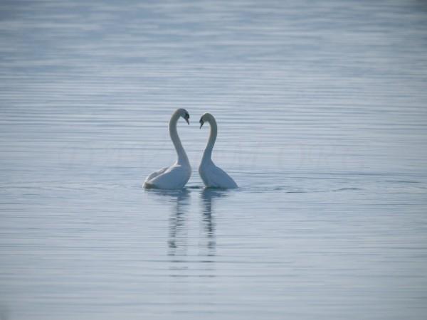 恋の季節の洞爺湖に住む白鳥の写真