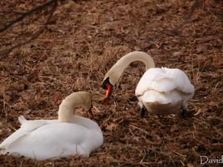 巣を直す白鳥