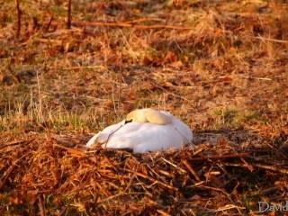 小高くなった巣で待つ白鳥