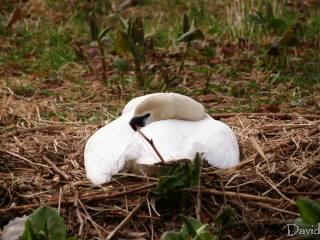 卵を守る白鳥