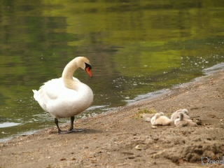 母親に見守られる子白鳥