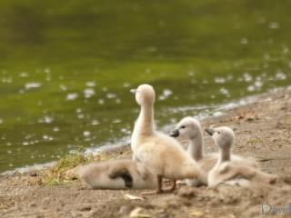 4羽の子白鳥