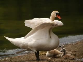 日差しをさえぎる母白鳥