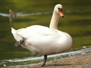 片足で立つ白鳥