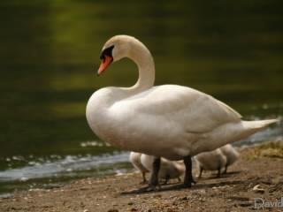 湖を泳ぐ白鳥一家