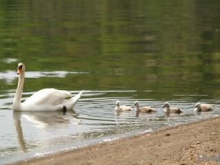 お散歩に出る白鳥