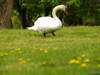 まだ草を食べる白鳥