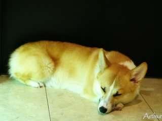 玄関で寝るコーギー