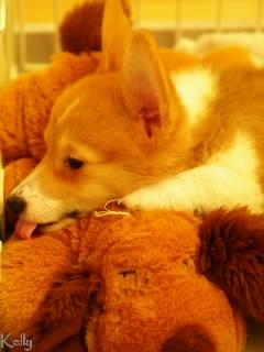 おもちゃと一緒に寝るコーギー