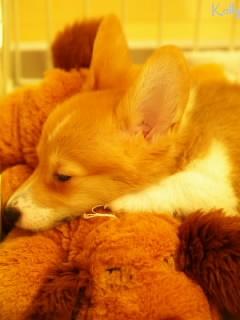 おもちゃを抱いて寝るコーギー