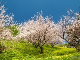 梅の花とタンポポ
