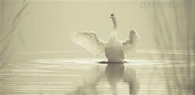 柔らかい光の中で羽ばたく白鳥