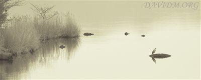 洞爺湖のアオサギ