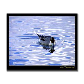ウトナイ湖のオナガガモ