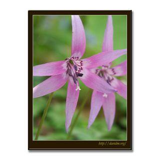 カタクリ,花,写真