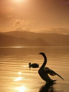 洞爺湖の白鳥