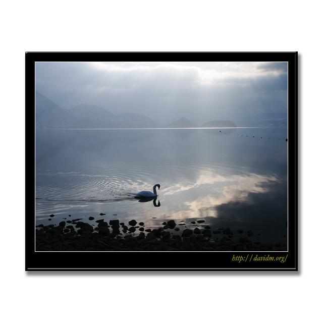 光の中を泳ぐ白鳥