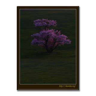 崎守の一本桜