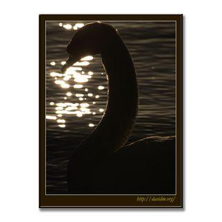 朝陽に首をのばす洞爺湖の白鳥