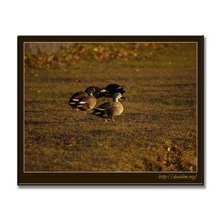 朝陽を浴びて散歩するカモ