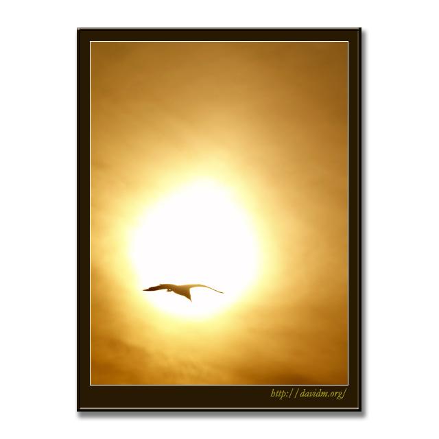 夕陽バックのカモメ