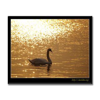 朝陽に輝く湖面をすべる白鳥