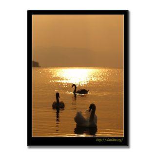 朝陽と洞爺湖の白鳥親子
