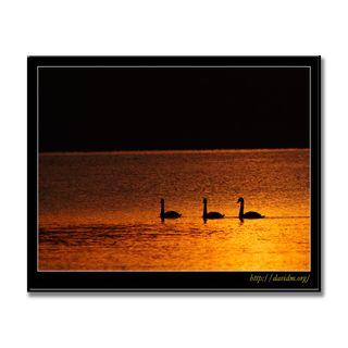 赤く染まった洞爺湖と3羽の白鳥の写真