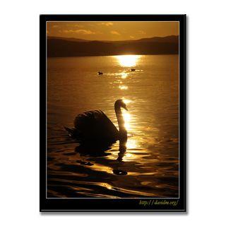 朝陽と泳ぐ洞爺湖の白鳥の写真