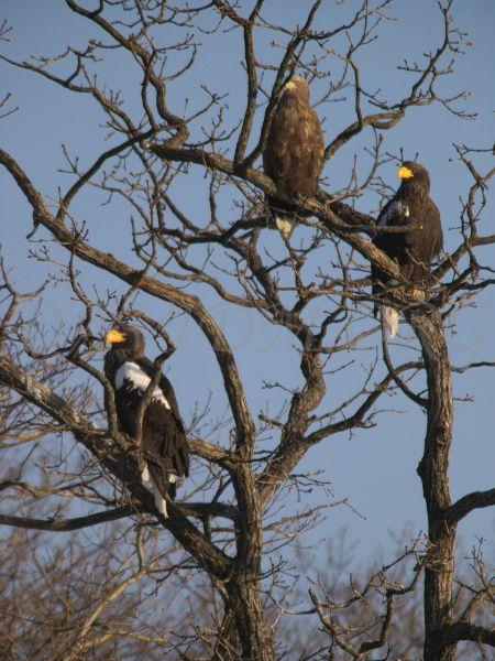 オオワシ2羽と幼鳥1羽の写真