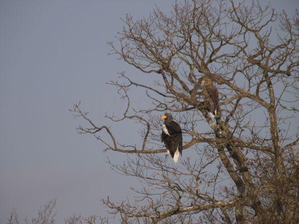 オオワシの成鳥と幼鳥