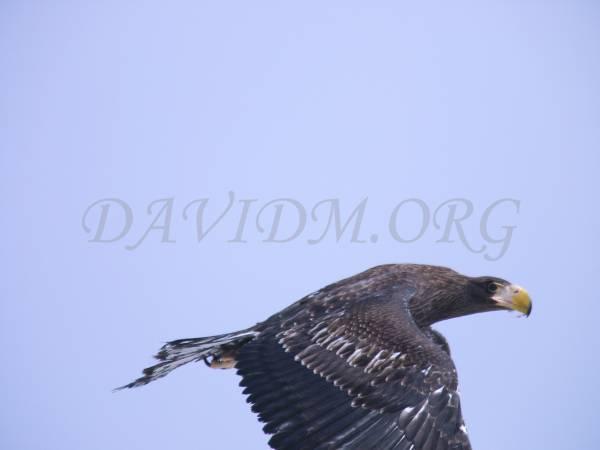 羽がはみ出てしまったオオワシの写真
