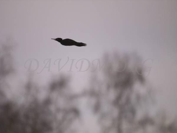 飛び去るクマゲラの写真