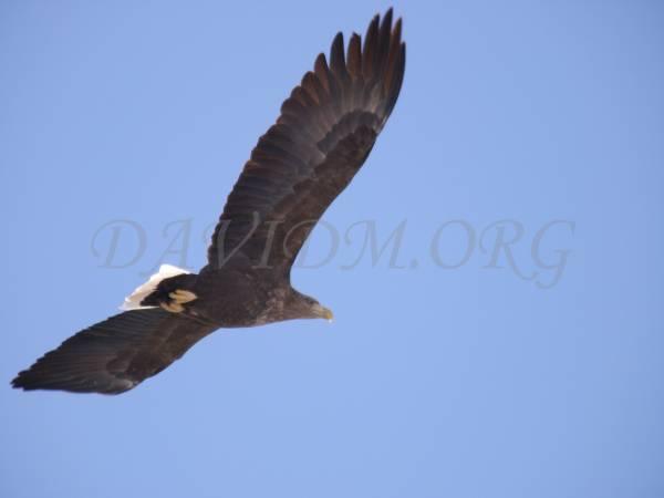 空飛ぶオジロワシの写真