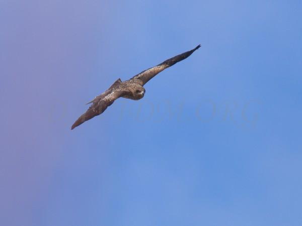 飛ぶトビの写真
