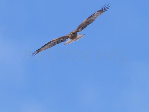 羽根を広げるトビの写真