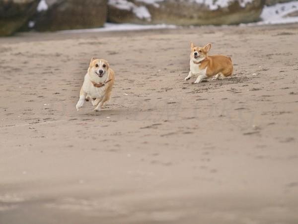 走る2頭のコーギーの写真