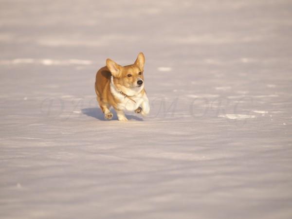 雪とコーギーの写真