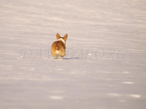 雪玉を追うコーギーの写真